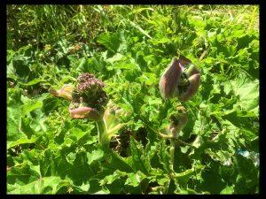 Hogweed Buds