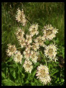 Hogweed Flowers