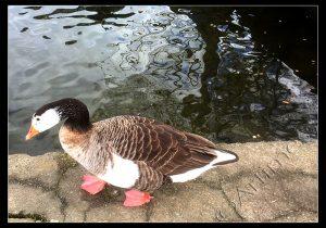 Is It A Goose