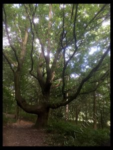 Odd Oak