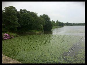 Sea of Lily Pads