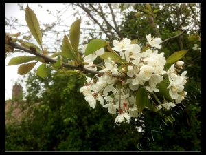 White Tree Blossom