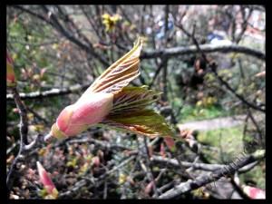 Opening Leaf Bud