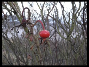 Lonely Rosehip!